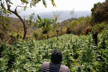 A small scale illicit marijuana farmer surrounded by growing plants.