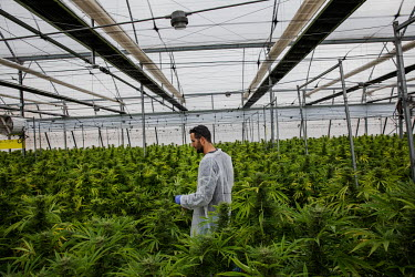 An employee removes cannabis flowers, growing in a huge greenhouse, that are considered to be not up to the standard required at Breath of Life Pharma (BOL), an Israeli medicinal cannabis company.