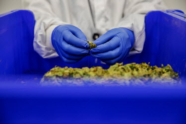 An employee processes cannabis flowers on a production line at Bazelet, an Israeli medicinal cannabis company.