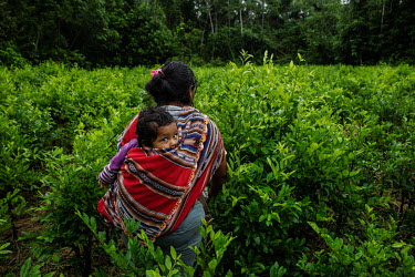 A Cocalera (coca leaf farmer), carrying her son on her back, walks among her coca plants in a plantation in rural Chimore, in the Chapare region. This is the main area where coca is used for the produ...