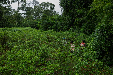 A Cocalera (coca leaf farmer), weeding her coca plantation in rural Chimore, in the Chapare region. This is the main area where coca is used for the production of cocaine.   Former President and forme...