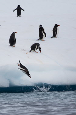 Chinstrap and gentoo penguins fish on an iceberg off Half Moon Island.  The Greenpeace ship Artic Sunrise was in the Antarctic on the last stage of a pole to pole voyage from the Arctic to the Antarct...