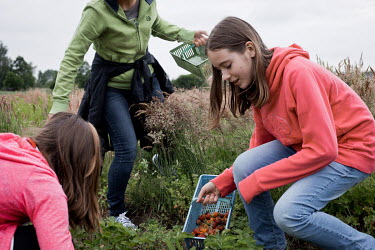 A woman and her daughters gathering strawberries in field at a 'pick-your-own' farm.