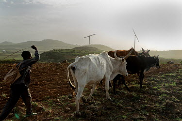 A boy drives cattle across a field near the Ashegoda wind farm, built between 2011 to 2013 by French company Vernet.