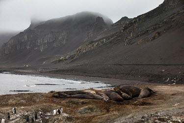 A group of elephant seals at Hannah Point, on the south coast of Livingston Island in the South Shetland Islands.  The Greenpeace ship MY Esperanza is on the final leg of the pole to pole voyage fro...