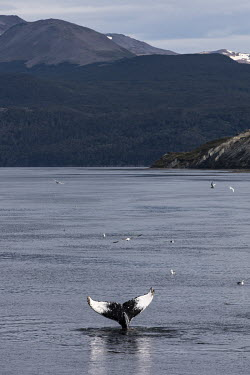 A whale's tail fin appears above the waters in the Beagle Channel.   The Greenpeace ship MY Esperanza is on the final leg of the pole to pole voyage from the Arctic to the Antarctic. The almost year...