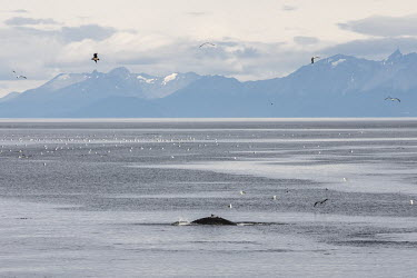 A whale breaks the water in the Beagle Channel.   The Greenpeace ship MY Esperanza is on the final leg of the pole to pole voyage from the Arctic to the Antarctic. The almost year-long yovage is one...