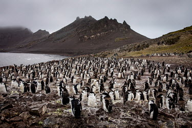 A chinstrap penguin colony at Hannah Point, on the south coast of Livingston Island.  The Greenpeace ship MY Esperanza is on the final leg of the pole to pole voyage from the Arctic to the Antarctic....