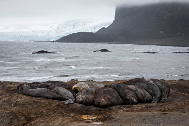 A group of elephant seals wallow on the beach at Hannah Point on the south coast of Livingston Island in the South Shetland Islands.  The Greenpeace ship MY Esperanza is on the final leg of the pole...