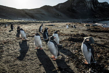 Gentoo penguins on Barrientos Island, in the South Shetland Islands.  The Greenpeace ship MY Esperanza is on the final leg of the pole to pole voyage from the Arctic to the Antarctic. The almost yea...