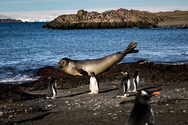 An elephant seal and a gentoo penguins on Barrientos Island, in the South Shetland Islands.  The Greenpeace ship MY Esperanza is on the final leg of the pole to pole voyage from the Arctic to the An...