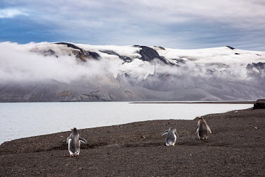 Gentoo penguins on Deception Island, in the South Shetland Islands. The island is actually the caldera of an active volcano. It last erupted in 1969 forcing the British to abandon their research stati...