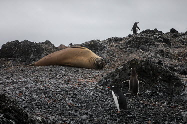 A southern elephant seal and gentoo penguins at Hannah Point, on the south coast of Livingston Island in the South Shetland Islands.  The Greenpeace ship MY Esperanza is on the final leg of the pole...