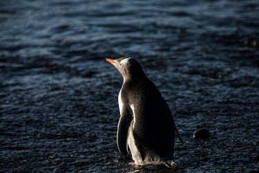 A gentoo penguin on Barrientos Island, in the South Shetland Islands.  The Greenpeace ship MY Esperanza is on the final leg of the pole to pole voyage from the Arctic to the Antarctic. The almost ye...