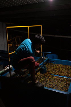 Jorge Ambrosio, 20, pulps coffee cherries. He is one of several young people hired full time by the 15 de Octubre La Trinidad community's own coffee co-op.