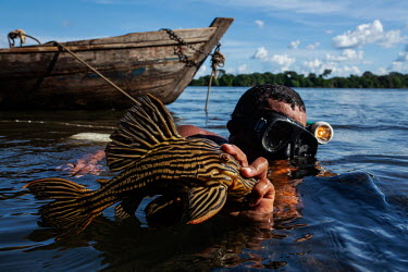 A fisherman holds up an a catfish he caught in the Xingu River rapids where many families make a living from the small scale capture of ornamental fish threatened by the Belo Monte dam construction wo...