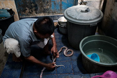 Samijan, a traditional healer, extracting the spinal cord from a spitting cobra in order to add it to a potion for a customer in the kitchen at his family's home in Kediri. Samijan specialises in herb...