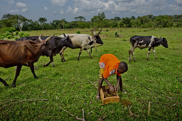 In Kayounga district, 60 kilometres from Kampala, a boy collects cow dung, from the family's herd, for use in a fermentation tank where, as the result of a biogas process, gas is produced that they ar...