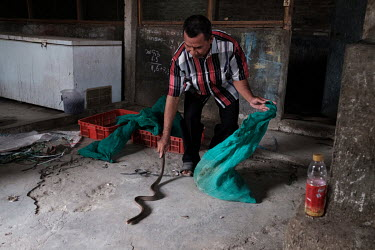 Waluyo, a dealer of snake products that include skins, meat and eggs, with a spitting cobra at his premises in Solo, Central Java.