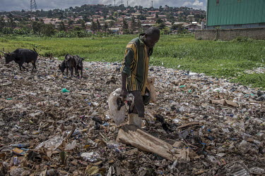 A man searches for resellable plastic waste at an illegal rubbish dump in Banda where his cows graze on the pile of waste.