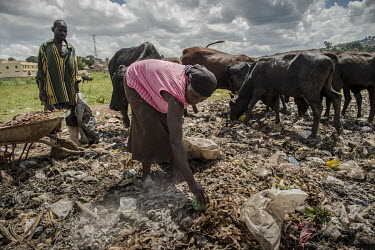 A woman searches for resellable plastic waste at an illegal rubbish dump in Banda where cows also graze on the pile of waste.