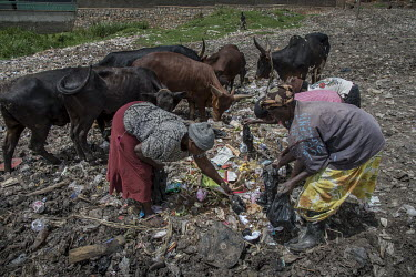 People search for resellable plastic waste at an illegal rubbish dump in Banda where cows also graze on the pile of waste.