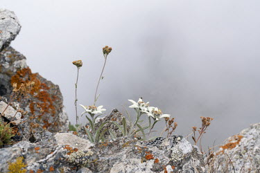 An Edelweiss flower near Col d'Urine in Le Queyras National Park in the French Alps.