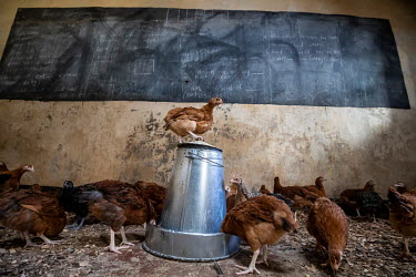 Chickens in an empty classroom being used as a barn while the school is closed due to the coronavirus pandemic.