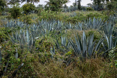 An agave plantation at a farm that grows them for the Agave India factory, a craft distillery.