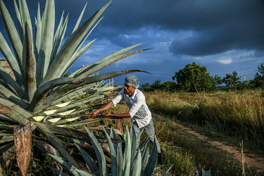 Workers harvesting agave plants at a farm that grows them for the Agave India factory, a craft distillery.