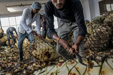 Workers trim and cut agave plants at the Agave India factory, a craft distillery.