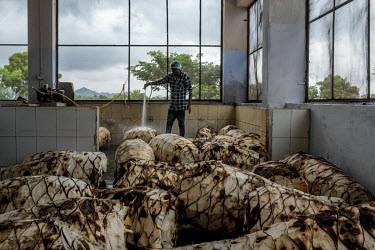 A worker washes trimmed and cut agave plants at the Agave India factory, a craft distillery.
