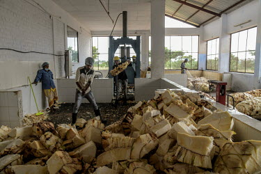 Workers cut up agave plants at the Agave India factory, a craft distillery.