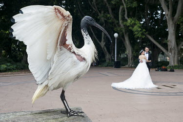 An Australian white ibis (Threskiornis moluccus) in Hyde Park where a couple are posing for wedding photographs.