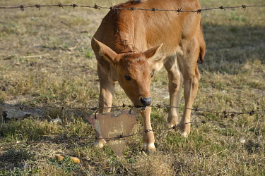 A calf grazes in a field that was formerly a mine field on Xiao (Little) Kinmen Island.  Following the retreat of Chiang Kai-shek's nationalist Kuomintang (KMT) forces to Taiwan (Formosa) at the end o...