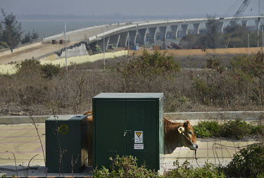 Cattle graze near the off-ramp of a soon-to-be completed road bridge that will connect Kinmen's main island with Xiao (Little) Kinmen Island, just a mile or two from the Chinese mainland.   Followin...