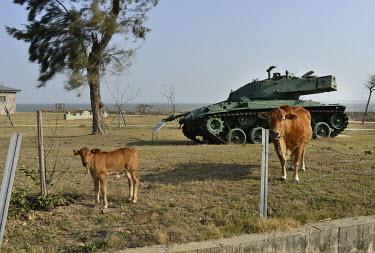 Cattle graze in a former mine field on Xiao (Little) Kinmen Island, a tiny territory littered with relics of the Cold War which lies around 150 miles from Taiwan, but only two miles from mainland Chin...