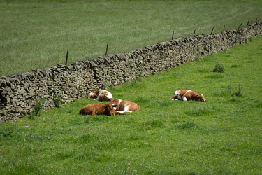 Cattle sleep in a field in the Peak District.