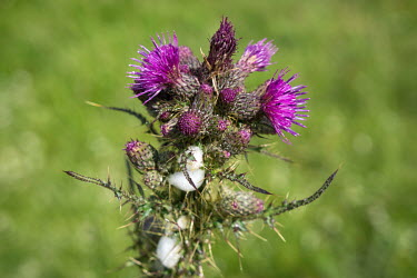 Thistles growing in a field in the Peak District.