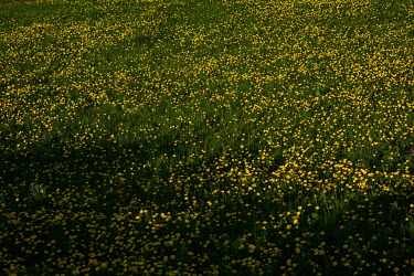 A field of buttercups beside Redmires Reservoirs in the Peak District National Park.