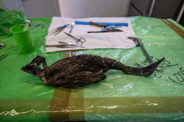 The body of an endangered Cape cormorant chick lies on the necropsy table at the morgue at SANCCOB (Southern African Foundation for the Conservation of Coastal Birds) seabird hospital. The bird was on...