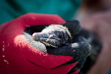 A sick Cape cormorant chick has a blood sample taken at SANCCOB (Southern African Foundation for the Conservation of Coastal Birds). The chick was on eof 2,000 rescued from Robben Island after it was...