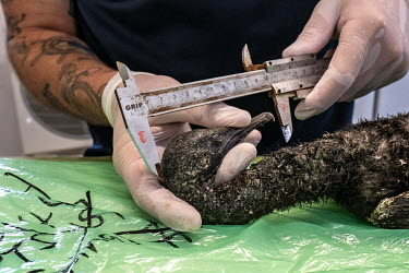 The body of an endangered Cape cormorant chick is measured on the necropsy table at the morgue at SANCCOB (Southern African Foundation for the Conservation of Coastal Birds) seabird hospital. The bird...