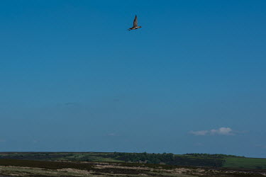 A curlew flies above the Redmires Reservoirs in the Peak District National Park.