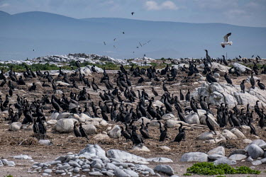 A colony of endangered Cape cormorants (Phalacrocorax capensis) on Dyer Island.