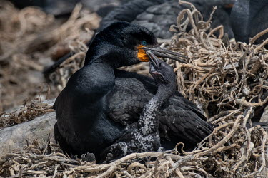 A Cape cormorant (Phalacrocorax capensis) and its chick on their nest on Dyer Island.