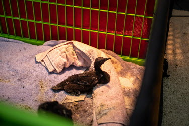 An injured Cape cormorant chick lies in a pen in the ICU at the SANCCOB (Southern African Foundation for the Conservation of Coastal Birds) hospital.