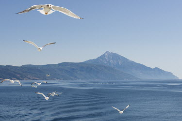 Sea gulls follow the ferry boat from Mount Athos to Ouranoupoli. Mount Athos is in the background.