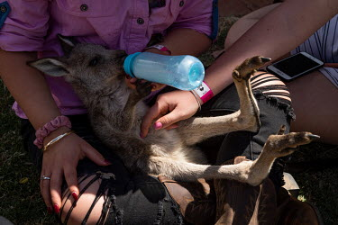 A woman bottle feeds milk to a baby 'joey' kangaroo at the Ariah Park, Bachelor and Spinster ball.  Known to locals as simply B&S balls, the events are held regularly in rural towns, run by local vo...