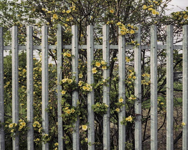Flowers push through the beams of a fence surrounding Bilton Way Allotments.